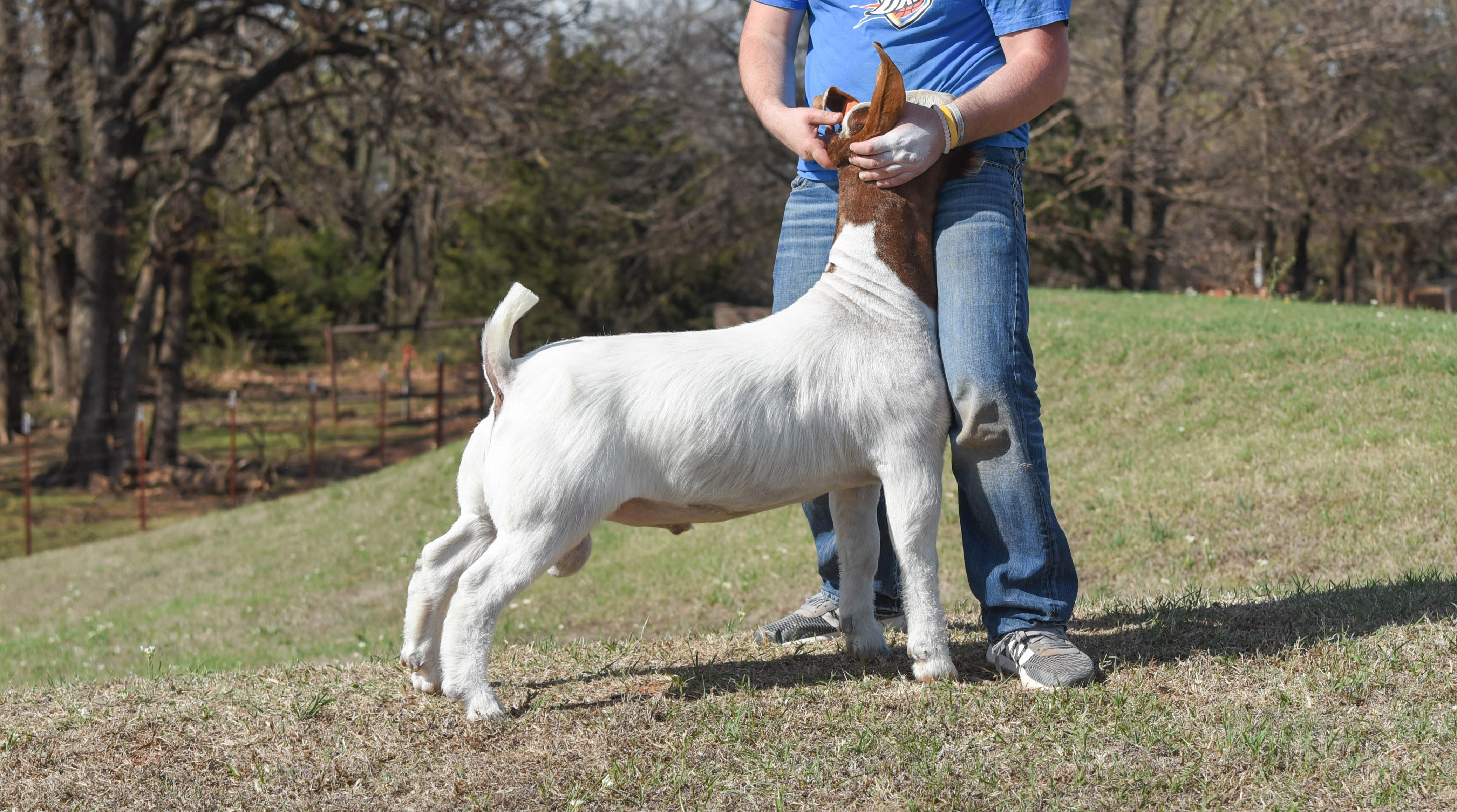 goats for sale online